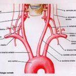 Dissecazione dell'arteria vertebrale, tutto quello che devi sapere
