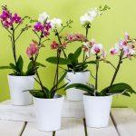 Perché le foglie delle orchidee si afflosciano?