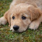 Perché i cani si strusciano sulle carogne?