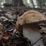 Patentino per raccogliere funghi, tutto quello che devi sapere sul corso per ottenere il tesserino